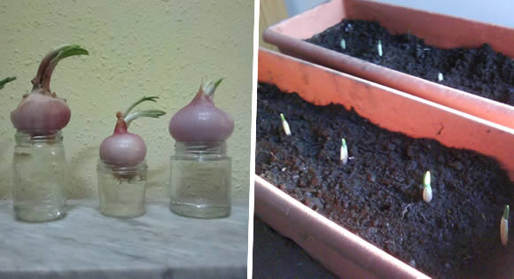 Come piantare aglio e cipolla a casa donna benessere for Piantare aglio